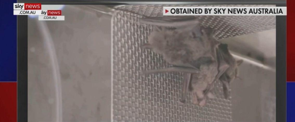 Wuhan, un video della tv australiana mostra i pipistrelli nel laboratorio